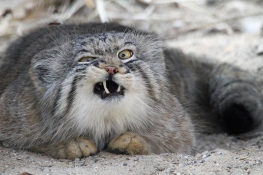 angry-cat-3